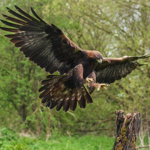 Golden Eagle preparing to land